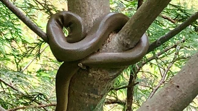 Boa snake spotted by hikers on popular hiking trail   KATU