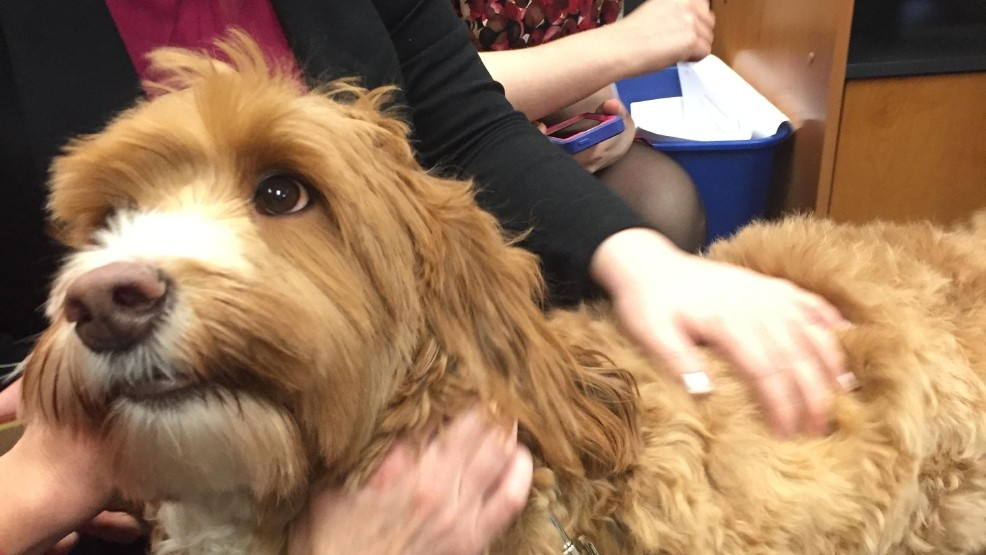Reagan the Labradoodle visits KATU News | KATU